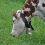 Откуда корова